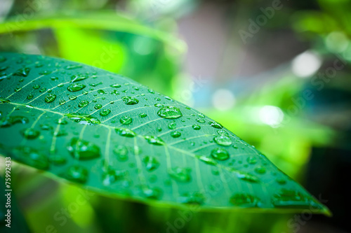 Rain drops on green leaf. Macro shoot - 75992433