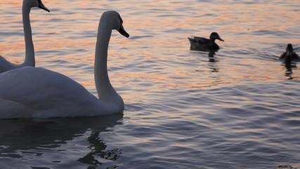 Some white swans are floating on the water of  Balaton lake