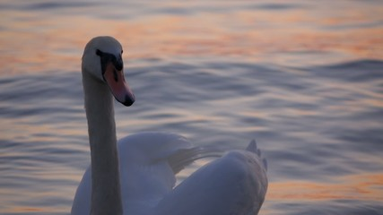 Close-up of a white swan floating on the water of  Balaton lake