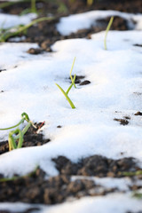 Grass on the ground in the snow - spring is coming, new life