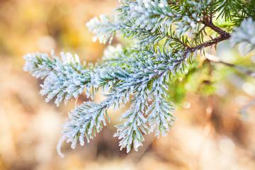 Frozen spruce branch
