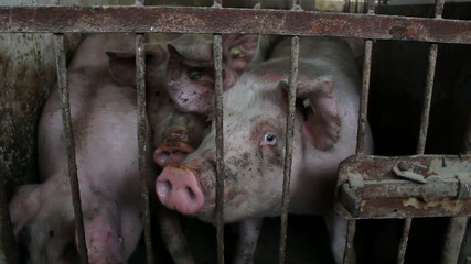Pigs in the sty