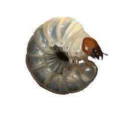 Stag beetle larvae