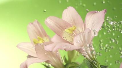 pink flower in drops of dew