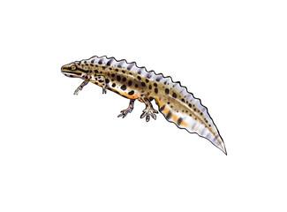 Common newt