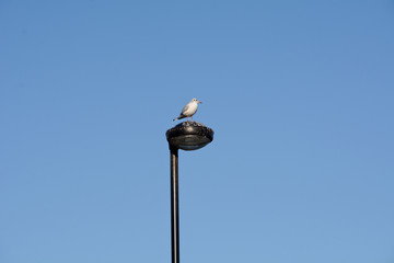Seagull perched on lamp-post