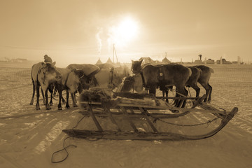 Team of reindeer on the background of yurts. Yamal