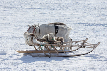 The dog in the sled and reindeer on snow background