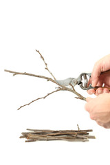 Example of pruning with secateurs on white