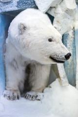 Dummy face of polar bear in museum.
