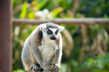 lonely lemur