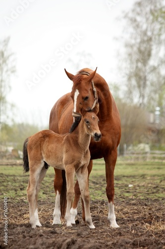 Papiers peints Nature Brown cute foal portrait with his mother