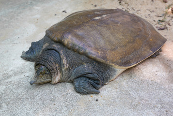soft-shell turtles - Family: Trionychidae