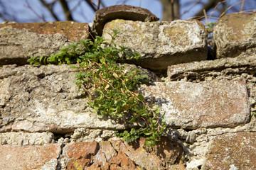 Mauerpflanze in einer Parkmauer.