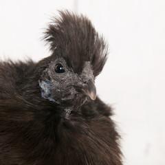 Silkie chicken in henhouse