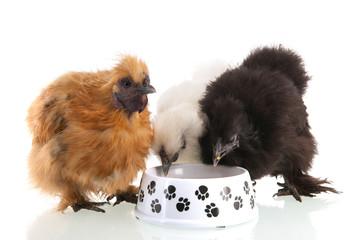 Silkie chicken eating