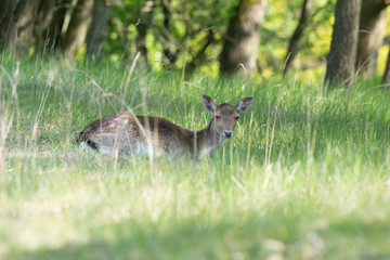 Roe deer laying in high grass