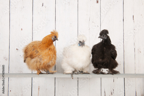 Foto op Canvas Kip Silkies chickens in henhouse
