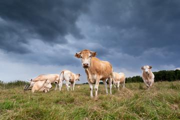 beige cattle herd on pasture