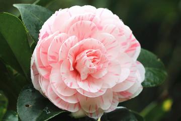 Camellia flower and raindrop