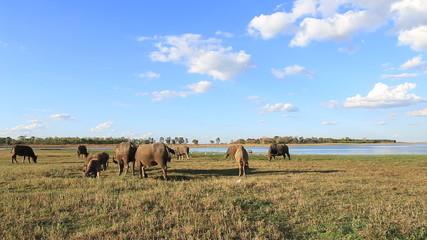 water buffalo eat fresh grass and walk in field near river