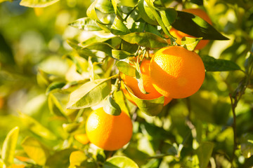 Valencia orange trees © 135pixels