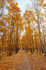 Autumnal forest with yellow leaves, straight path through trees