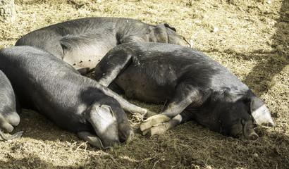 Black pigs resting