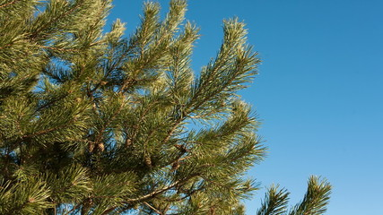 Pine branch with cones against blue sky in Autumn