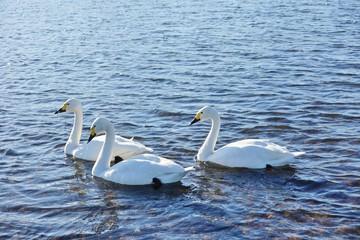 川で泳ぐ白鳥