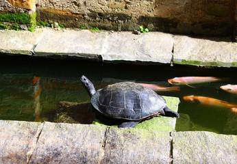 Чернобрюхая индийская черепаха в искусственном водоёме