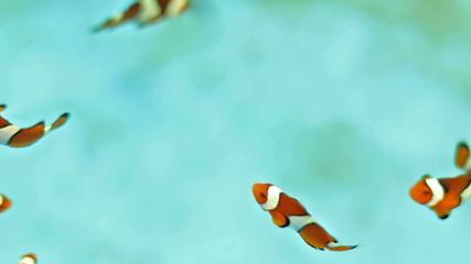 HD Footage of clown fish swimminb in water, in farm