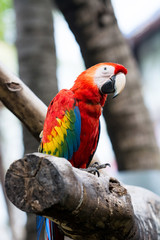 Scarlet macaw sitting on log