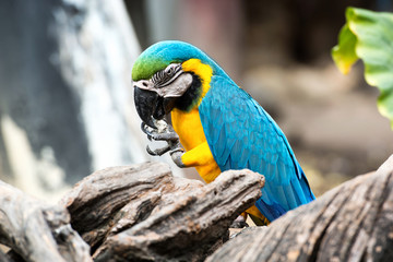 Couple blue-and-yellow macaw (Ara ararauna) nibble pebble