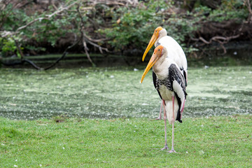 Twin Painted stork on green field