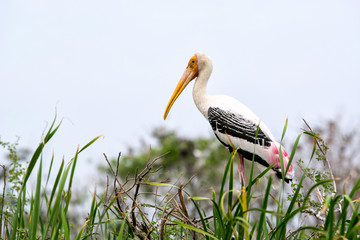 Painted stork standing on branch