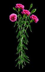 carnation flowers isolated on black background
