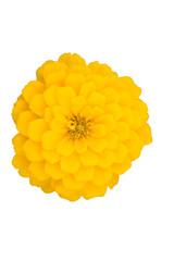 Yellow zinnia, cut out, white background