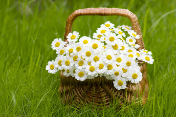 Basket with daisies on grass