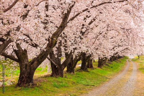 Fotobehang Kersen Cherry blossoms bloom path