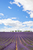 Lavender field with trees in Provence