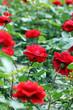 Obrazy na płótnie, fototapety, zdjęcia, fotoobrazy drukowane : garden with red roses flower