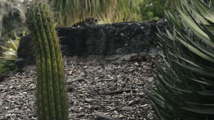 Group of cactus in the afternoon amongst rocks and stones.