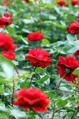 garden with red roses flower