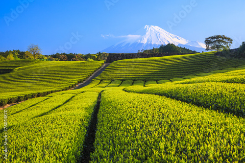 Japanese green tea plantation and Mt. Fuji