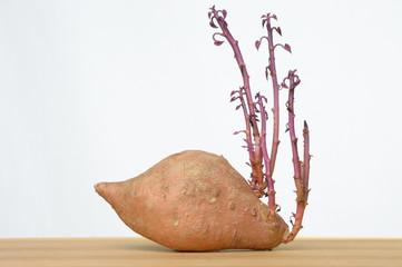 Ipomoea batatas Süsskartoffel mit Keimlingen