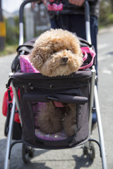 Cute dog being pushed in a stroller