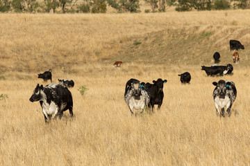 Speckled Park Cattle