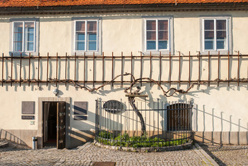 The old vine, the oldest vine in the world, Maribor, Slovenia
