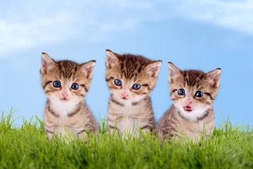 Drei Katzenbabys